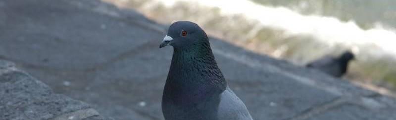 Il piccione, protagonista della favola di Natale